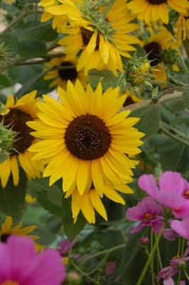 sunflowers & cosmos are what I want along the back yard fence.