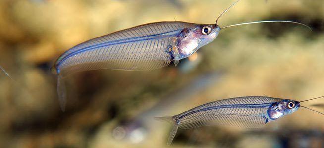 Kryptopterus minor glass catfish ghost fish catfish x-ray fish Informaiton caresheet wiki glass catfish ghost fish catfish x-ray fish for sale and where to buy - AquaticMag (7)