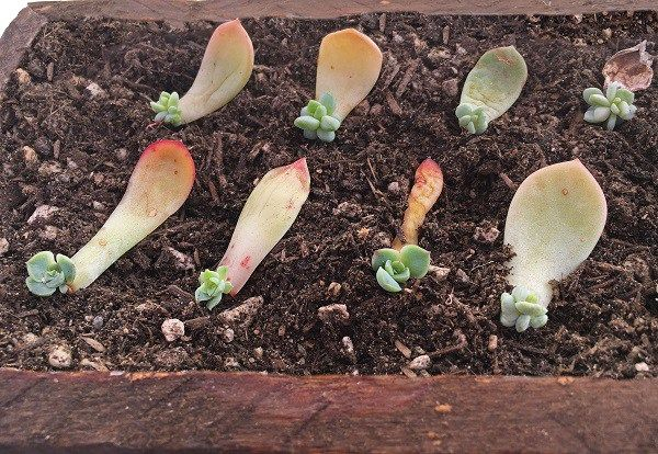 Propagating Succulents From Leaves The Succulent Eclectic Succulents Propagating Succulents Planting Succulents