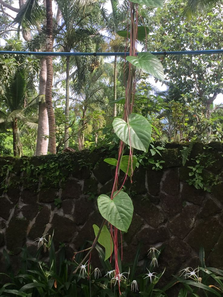 This is called millionaire's vine - it has the effect of Banyon