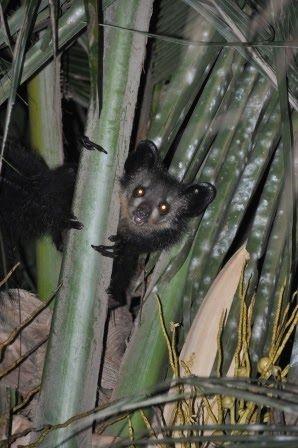 En aye aye er et MEGET mærkeligt dyr! Den er en primat ligesom en lemur, men den har tandsæt som en gnaver. Aye ayen har meget klare orange øjne i et meget spidst ansigt (modsat lemurer, som har et mere rundt ansigt). Den har flagermuslignende ører og en sindssyg god hørelse – så god, at den kan høre, hvis der …