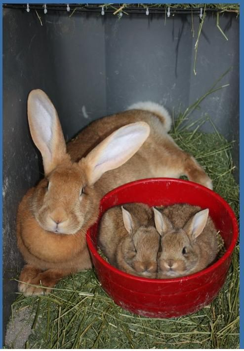 Fawn Flemish Giant doe with her two sandy babies.