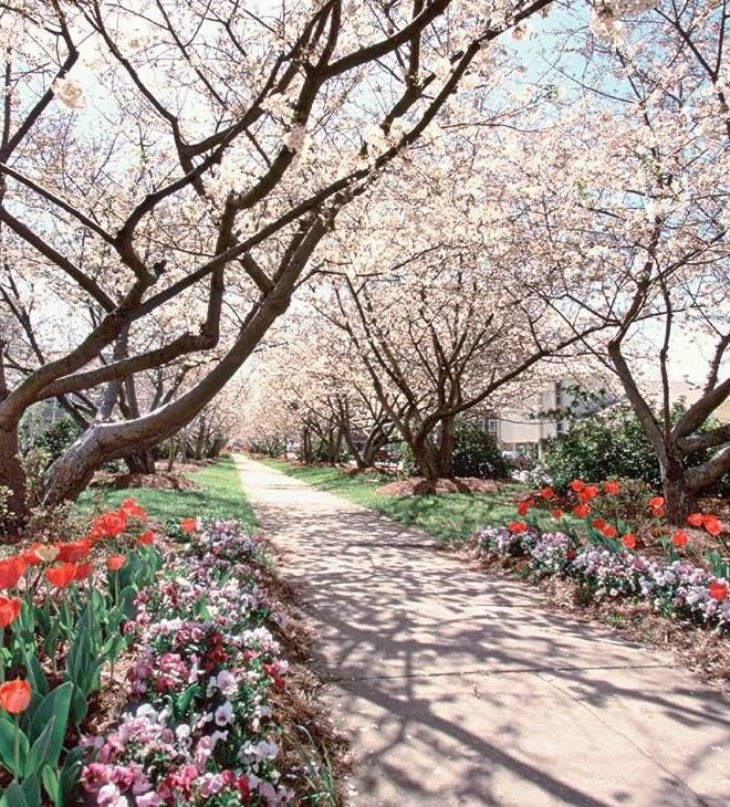 This Lovely Town In Georgia Is Actually The Cherry Blossom Capital Of The World Cherry Blossom Festival Georgia Vacation Macon Georgia