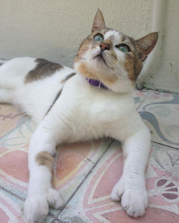 Best 25+ Polydactyl cat ideas on Pinterest | Paws rescue ... Orange Polydactyl Cat