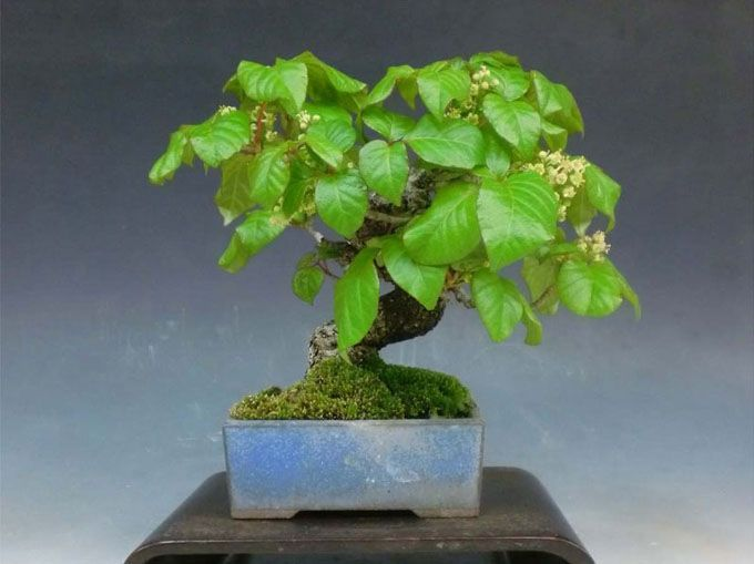Why anyone would make a poison ivy bonsai is beyond me, but judging by the trunk on this one someone has put some serious time into this one. Freaky!!  -This sweet to look at, but otherwise nasty little bonsai is from Yorozu Shohin Bonsai Nursery in Japan. It caught my wary eye recently on a post by John Romano on Bonsai Study Group Forum. I'm going to assume that it's an Asian Poison ivy (see text below).    One genus, several species  What follows is for those of us who get excited when we…