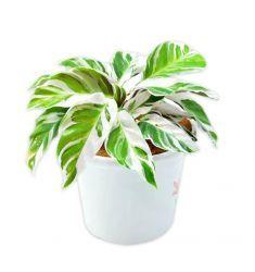 Calathea White Fushion Rp 45,000