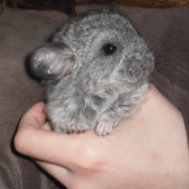 My chinchilla as a bab...
