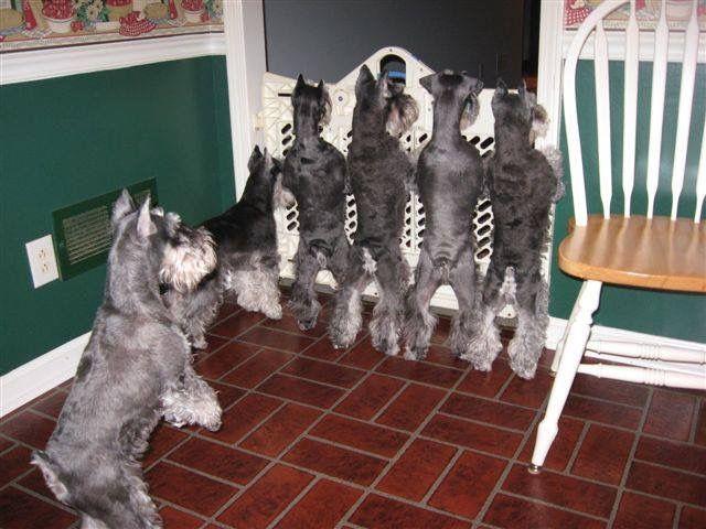 Typiskt schnauzers att stå på bakbenen.