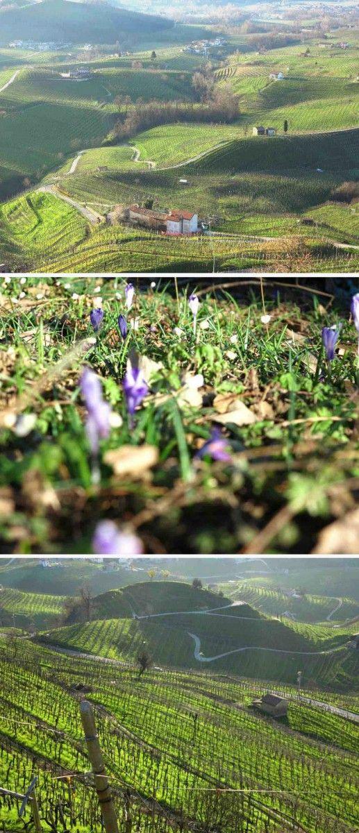 Dans les collines du Prosecco Superiore le printemps arrive... #spring #Conegliano #Valdobbiadene