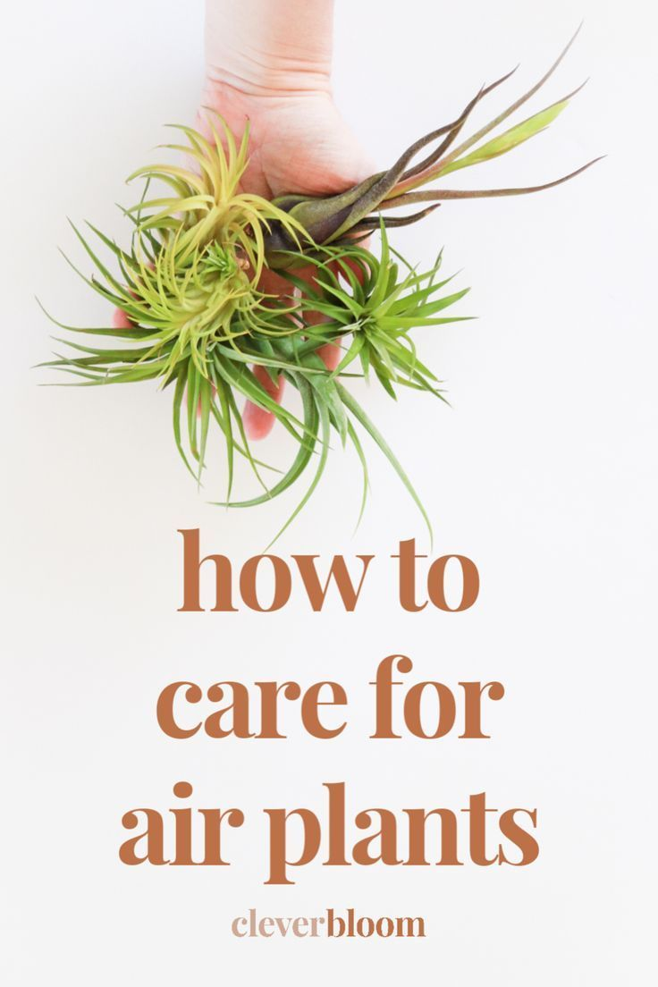 How To Care For Air Plants Tillandsia In 2021 Air Plants Care Air Plants Plant Care