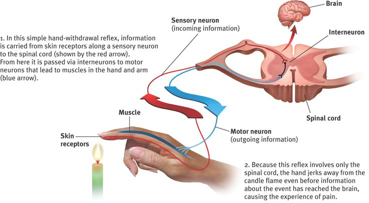 Diagram of skin receptor notifying sensory neuron of flame ...