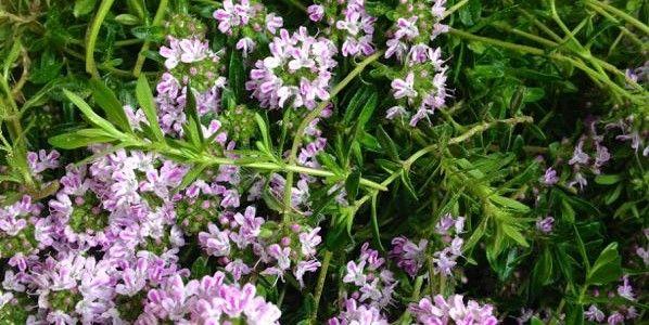 Thymian und weitere Heilmittel aus der Natur Anwendungsgebiete und Anleitungen