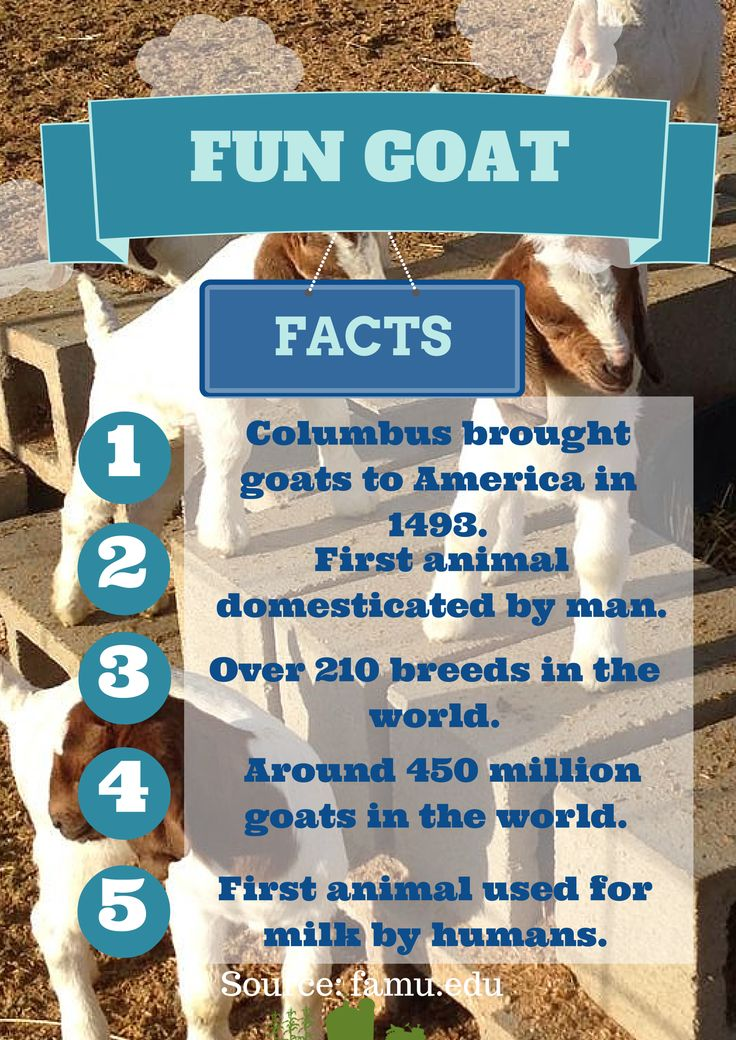 ag speech goat is the first Meat goats are generally leaner and more muscular than dairy goat carcasses the boer is regarded as a premier meat-producing goat other popular meat goat breeds are kiko, nubian, pygmy and spanish.