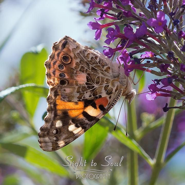 Painted Lady Butterfly Wall Picture, Insect Photography, Nature Home Décor #Butterflies