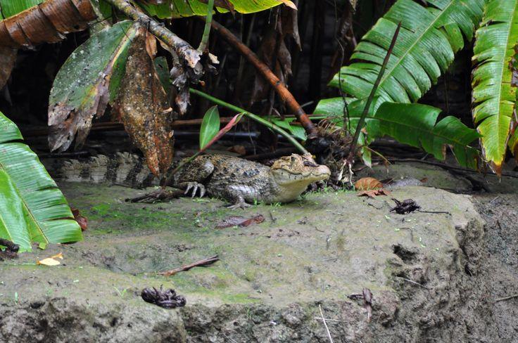 costa rica - foresta del tortuguero , canale penitenza