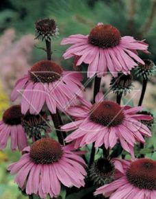 Echinacea p. 'Magnus'