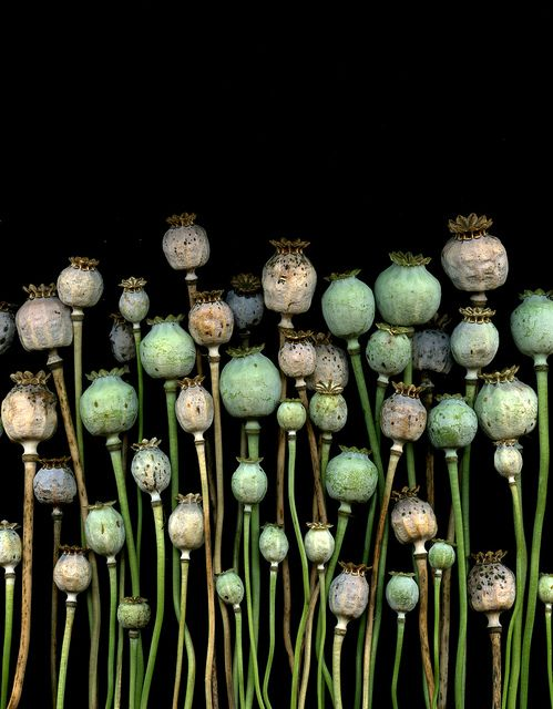 Poppies... Poppies... Poppies. A very beautiful ornamental gergen flower. When their done at the end of the year dry the pods and use them in decoration tupe crafts.