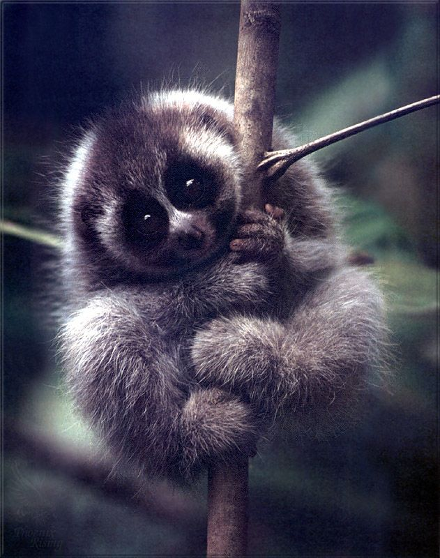 slow loris... (adorable animal that should not, NOT be kept as a pet..the capture and sale of these animals is inhumane)