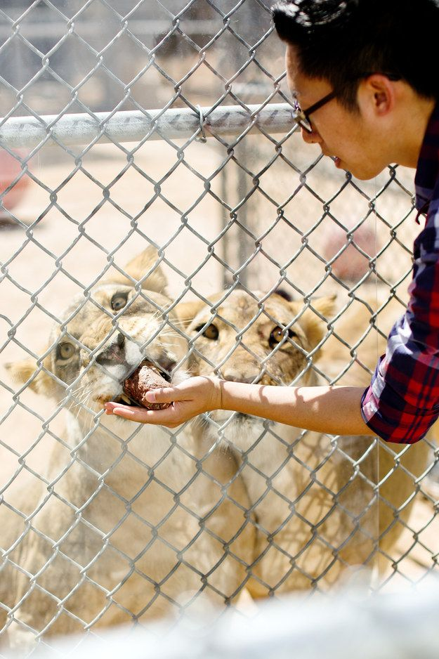 Get up close and personal with the MGM lions. | 17 Things You Didn't Know You Could Do In Las Vegas