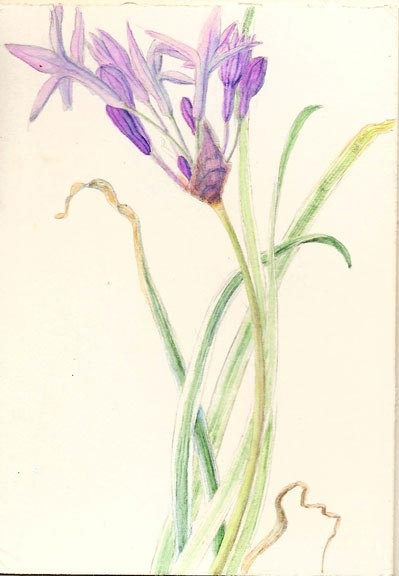 The 'society garlic' is one of my favorite plants. I had lots of this in my garden and later found that it came in a variegated version too so I did a watercolor painting of it.  I love putting the flowers in salads.