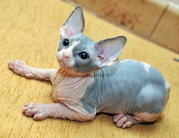 Sphinx Kitty...Cute and expensive. They will get cold very easily. So keep them warm. I would dress them in clothes. Fragile breed can be emotional like a dog.♥