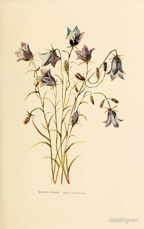 Harper's Guide to Wild Flowers 1912 Creevey, Caroline and Stickney, Alathea 123 Bluebell or Harebell