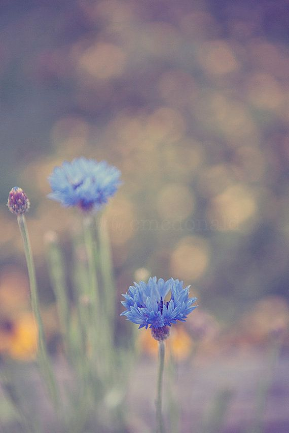 Sing a Song Photographic Print Blue Cornflower