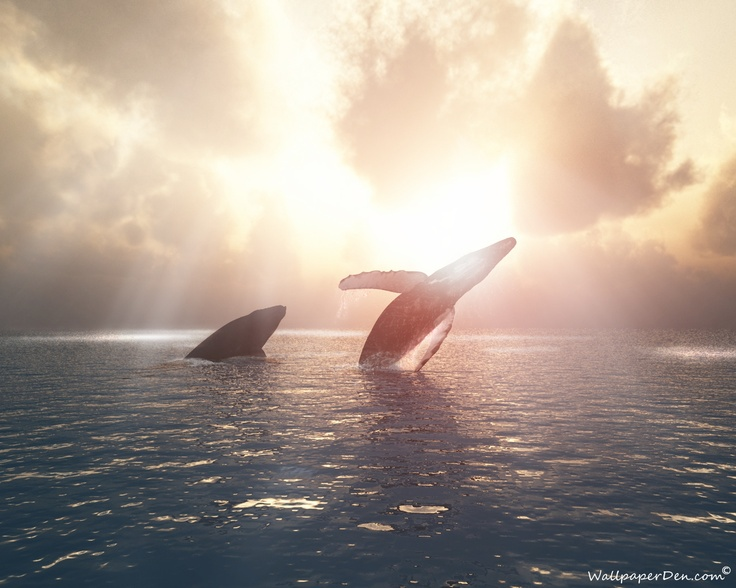 Oh my, this is extraordinary. Blue whales breaching.