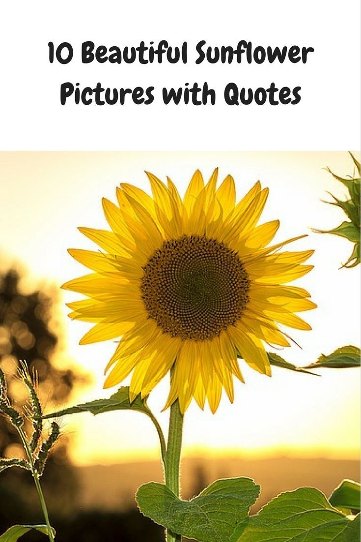 10 Beautiful Pictures of Sunflowers with Quotes
