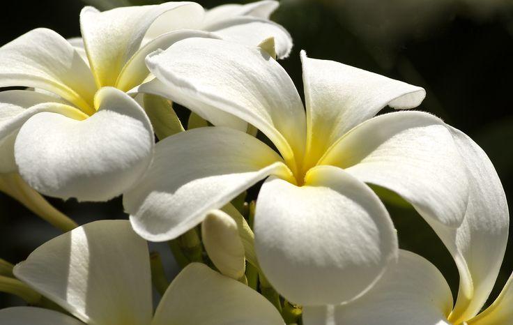 Frangipani in full bloom, amazing fragrance.