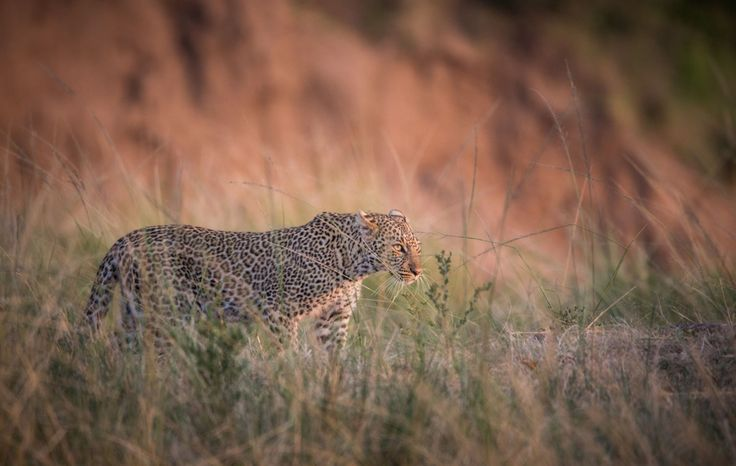 Back to the Masai Mara and our best Leopard Sighting Yet
