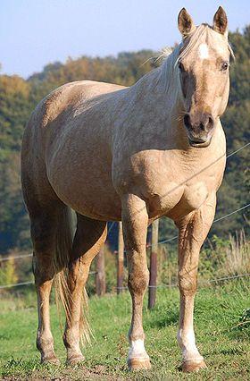 Quarter Horse | Quarter horse - Wikipédia