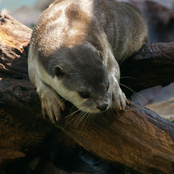 Image result for otter facts
