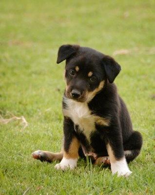 This Kelpie puppy is pretty cute too