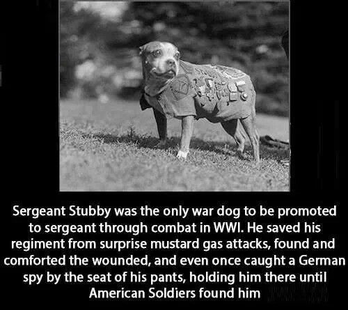 Image result for stubby the famous war dog