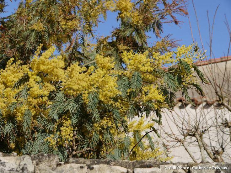 les 28 meilleures images du tableau mimosa sur pinterest fleurs jaunes arbuste et les plantes. Black Bedroom Furniture Sets. Home Design Ideas