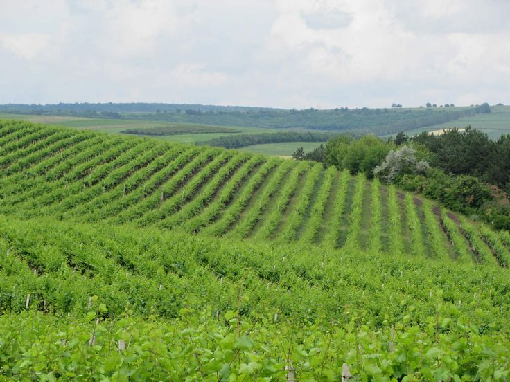 This vineyard at Cricova north of Chisinau is representative of many around Moldova.