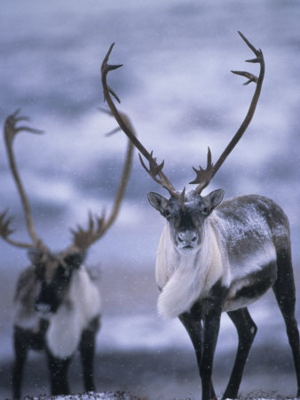 Both male and female caribou have antlers.  They are the exception to the rule.