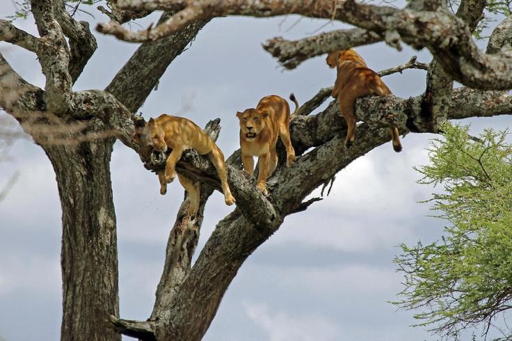 Tree Lions...... Tanzania, Africa
