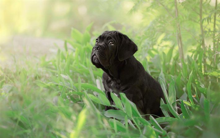 Hämta bilder Cane Corso, svart valp, liten hund, hund i gräs, söta valpar
