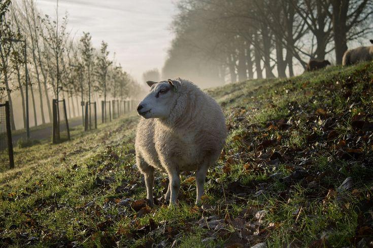 Wypas owiec zdecydowanie coraz mniej opłacalnym interesem, a dodatkowo {mamy do czynienia ze|możemy mówić o starzejącym się społeczeństwie, natomiast młodsze pokolenie nie pcha się, żeby iść śladami starszych baców. Nie można też zapomnieć coraz bardziej rygorystycznych przepisów, które dotyczą hodowli tych wyjątkowych zwierząt, a przecież nie od dzisiaj krąży opinia, że owca jest nazywana ekologiczną kosiarką.