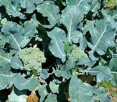 Как вырастить брокколи?