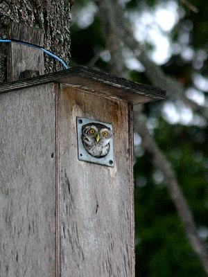 An Owl Peeking Out From A Tree Mounted Wooden Owlbox. Natural Pest Control.