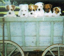 Mini Jack Russell Pups