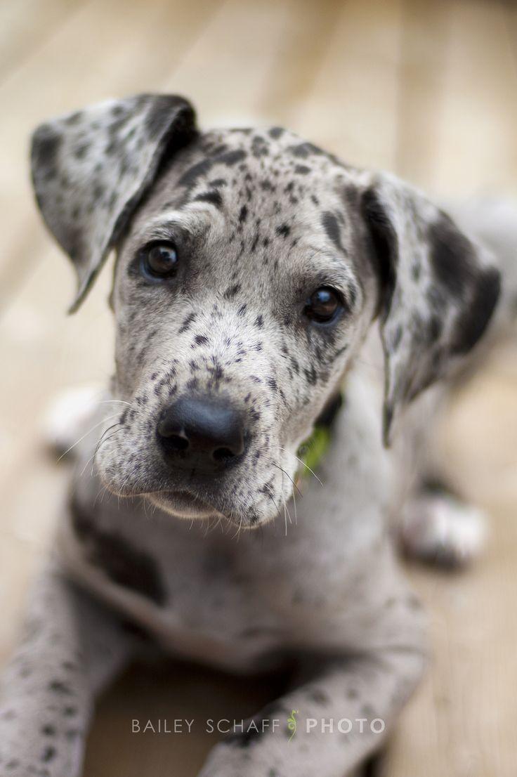 95 best Great Dane images on Pinterest | Animals, Great dane puppy ...