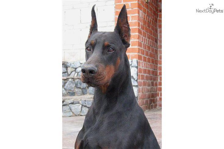 Doberman Pinscher puppy for sale near Dothan, Alabama