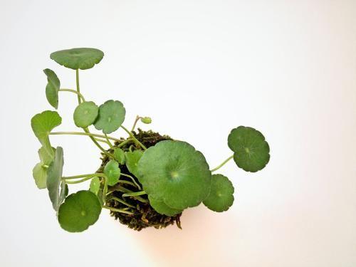 苔玉(ウォーターマッシュルーム) - tito mossball, BONSAI