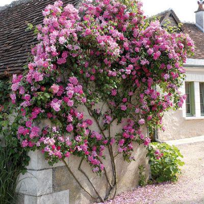 Promesse de roses: André EVE, le jardinier des roses