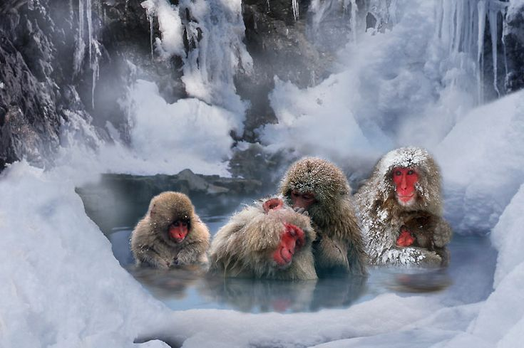 Singes au Sauna au Japon