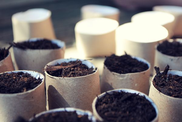 Sowing seeds in toilet paper rolls